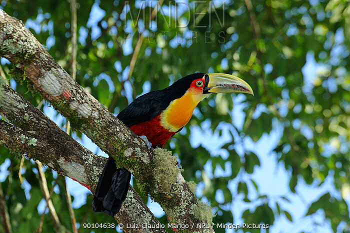 Red-breasted toucan (Ramphastos dicolorus) Atlantic Rainforest of Itatiaia National Park, municipality of Itatiaia, Rio de Janeiro State, Brazil  -  Luiz Claudio Marigo/ npl