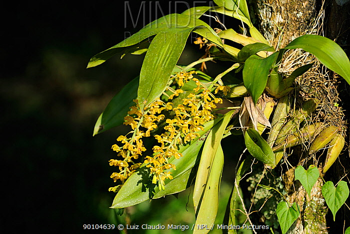 Epiphytic orchid (Gomesa sp) in the Atlantic rainforest of Serrinha do Alambari Environmental Protection Area, munica�pality of Resende, Rio de Janeiro State, Brazil  -  Luiz Claudio Marigo/ npl