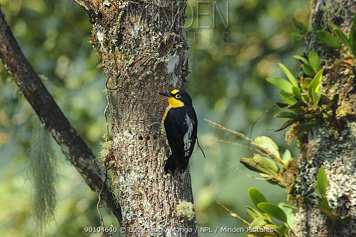 Female Yellow-fronted woodpecker (Melanerpes flavifrons) in the Atlantic Rainforest of Itatiaia National Park, municipality of Itatiaia, Rio de Janeiro State, Brazil  -  Luiz Claudio Marigo/ npl