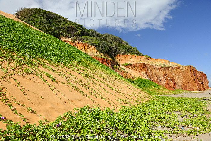 Sand dunes with Beach Morning Glory (Ipomoea pes-caprae) covering the sea cliff of Ponta Grossa Beach, municipality of Icapua�, Eastern coast of Cear?i State, Northeastern Brazil April 2009  -  Luiz Claudio Marigo/ npl