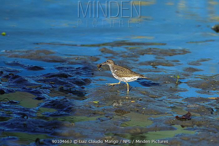 Spotted sandpiper (Actitis macularia) in non-breeding plumage feeding on crab in mangrove, near Grossos town, Rio Grande do Norte State, Northeastern Brazil  -  Luiz Claudio Marigo/ npl