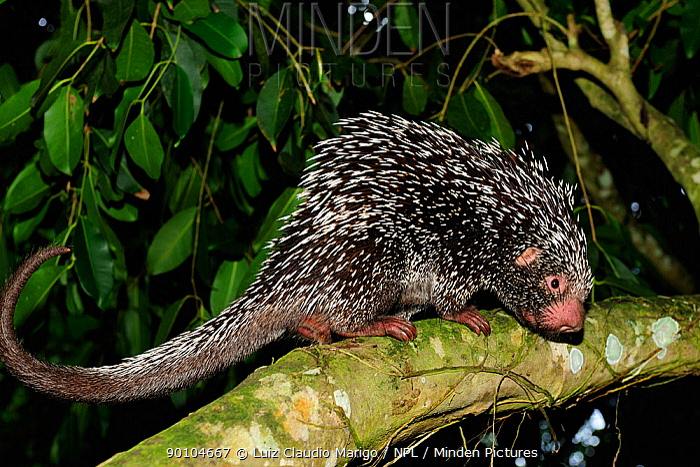 Prehensile tailed porcupine (Coendou prehensilis) sniffing tree, forest of Sierra of Baturita, municipality of Mulungu, Cearai State, Northeastern Brazil  -  Luiz Claudio Marigo/ npl
