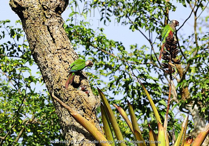 Grey-breasted parakeets (Pyrrhura griseipectus), endemic and endangered species in the forest of Sierra of Baturita, Cearai State, Northeastern Brazil  -  Luiz Claudio Marigo/ npl
