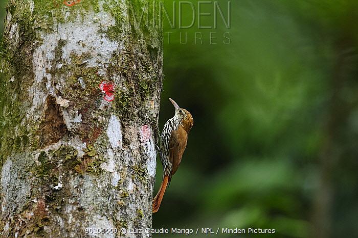 Scaled woodcreeper (Lepidocolaptes squamatus squamatus) in the Atlantic Rainforest, at Serrinha do Alambari Environmental Protection Area, municipality of Resende, Rio de Janeiro State, Southeastern Brazil  -  Luiz Claudio Marigo/ npl