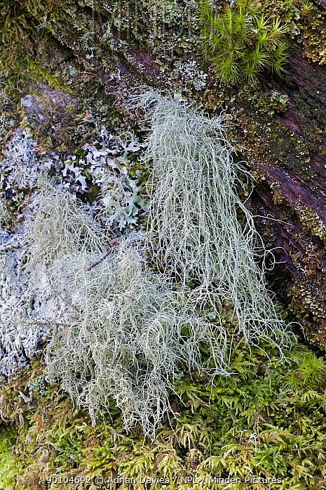 Beard Lichen (Usnea subfloridana) a good indicator of clean air, UK  -  Adrian Davies/ npl