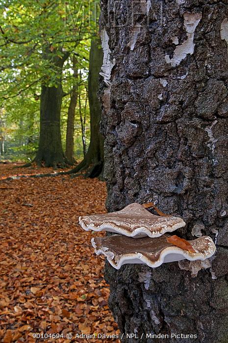 Birch bracket fungus, Birch polypore (Piptoporus betulinus) on Birch tree in beech woodland, UK  -  Adrian Davies/ npl