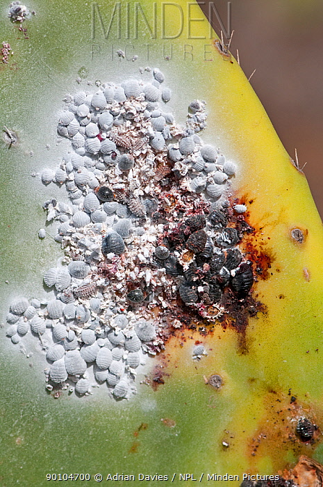 Cochineal insect (Dactyliopius coccus) on Prickly pear cactus (Opuntia ficus indica) cultivated for the production of cochineal dye Guatzia, Lanzarote, Canary Islands  -  Adrian Davies/ npl