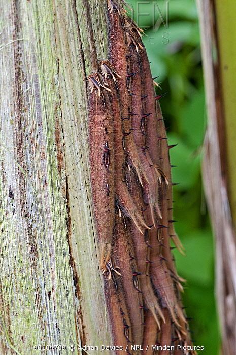 Caterpillar larvae of Owl Butterfly (Caligo sp) grouped together feeding on Palm tree  -  Adrian Davies/ npl