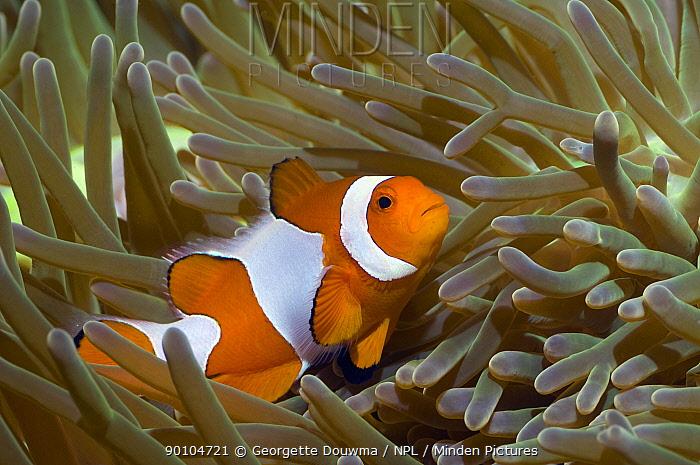 False clown anemonefish (Amphiprion ocellaris) amongst anemone tentacles, Misool, Raja Ampat, West Papua, Indonesia  -  Georgette Douwma/ npl