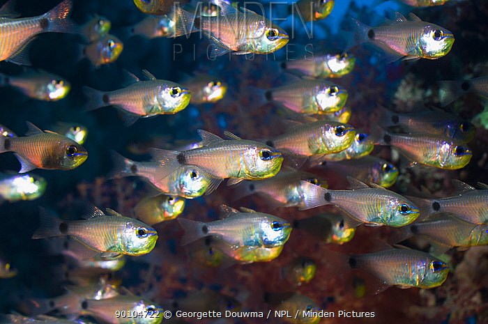 Shoal of Orange-lined cardinalfish (Archamis fucata) Egypt, Red Sea  -  Georgette Douwma/ npl