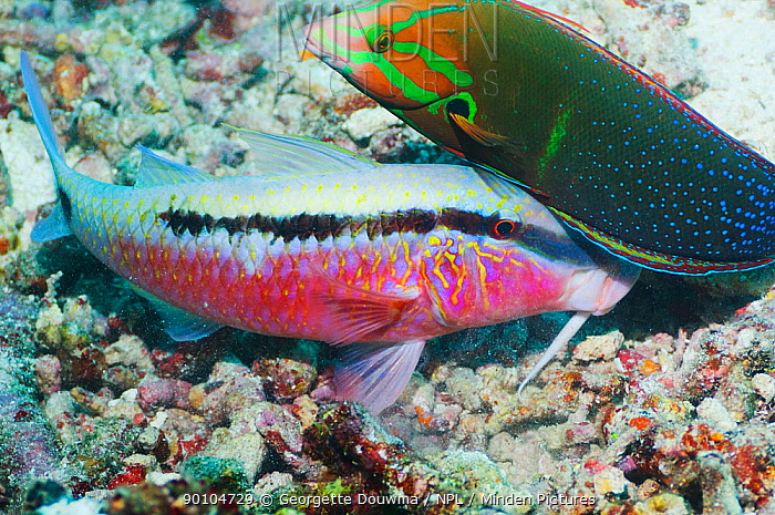 Dash-and-dot goatfish (Parupeneus barberinus) digging in coral rubble for prey, accompanied by a Yellowtail coris (Coris gaimard) hoping to catch any escaping prey Misool, Raja Ampat, West Papua, Indonesia  -  Georgette Douwma/ npl