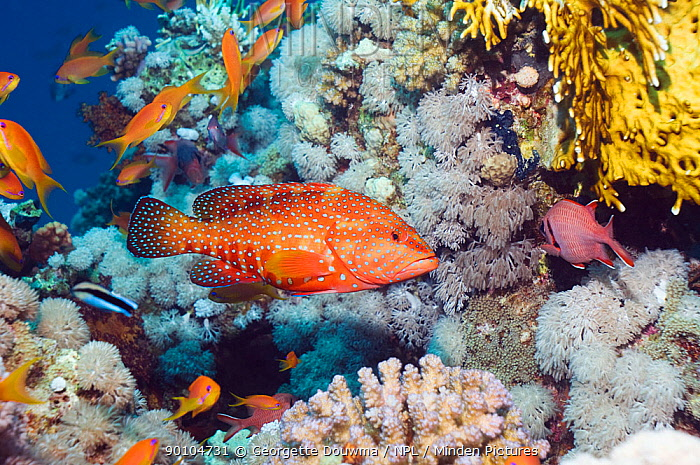 Coral hind (Cephalopholis miniata) and Lyretail anthias (Pseudanthias squammipinnis) on coral reef, Egypt, Red Sea  -  Georgette Douwma/ npl