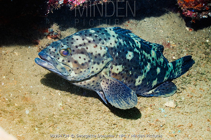 Brown-marbled grouper (Epinephelus sp) at wreck, Kasi Maru, Solomon Islands  -  Georgette Douwma/ npl