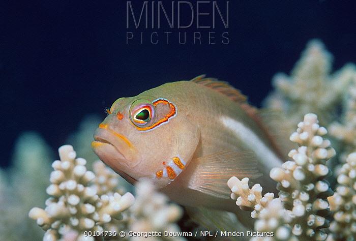 Hawkfish (Paracirrhites sp) amongst coral, Indonesia  -  Georgette Douwma/ npl