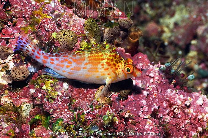 Pixy hawkfish (Cirrhitichthys oxycephalus) on coral reef, Misool, Raja Ampat, West Papua, Indonesia  -  Georgette Douwma/ npl