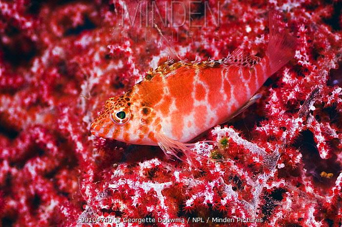 Threadfin hawkfish (Cirrhitichthys aprinus) camouflaged on octocoral Misool, Raja Ampat, West Papua, Indonesia  -  Georgette Douwma/ npl
