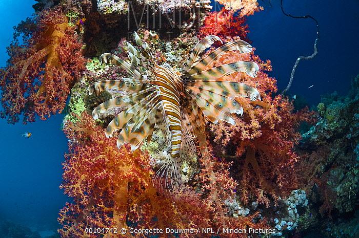 Lionfish (Pterois volitans) camouflaged against soft corals Egypt, Red Sea  -  Georgette Douwma/ npl