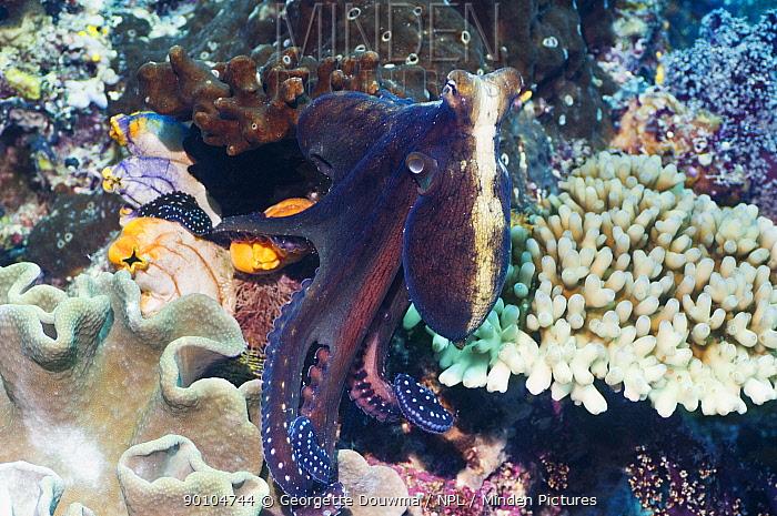 Common reef octopus (Octopus cyanea) hunting on coral reef, Misool, Raja Ampat, West Papua, Indonesia  -  Georgette Douwma/ npl