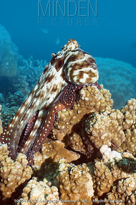 Common reef octopus (Octopus cyanea) resting on coral Bunaken NP, North Sulawesi, Indonesia  -  Georgette Douwma/ npl