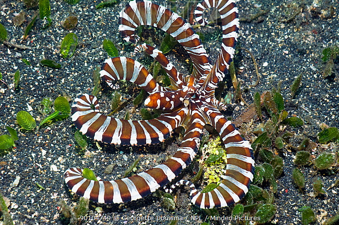 Wonderpus (Wunderpus photogenicus) octopus changes colour spectacularly and takes on many different shapes Lembeh Strait, North Sulawesi, Indonesia  -  Georgette Douwma/ npl