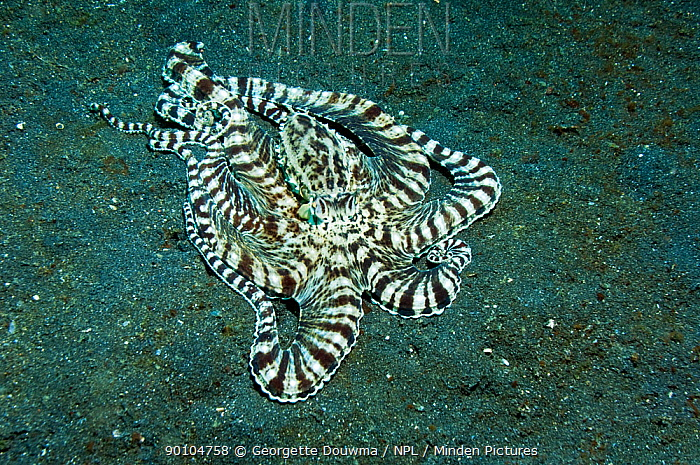 Mimic octopus (Thaumoctopus mimicus) hunting for prey over sandy seabed, Lembeh Strait, North Sulawesi, Indonesia  -  Georgette Douwma/ npl