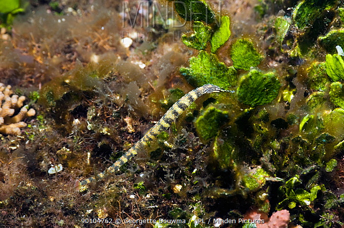 Scribbled pipefish (Corythoichthys intestinalis) in weeds Lembeh, North Sulawesi, Indonesia  -  Georgette Douwma/ npl