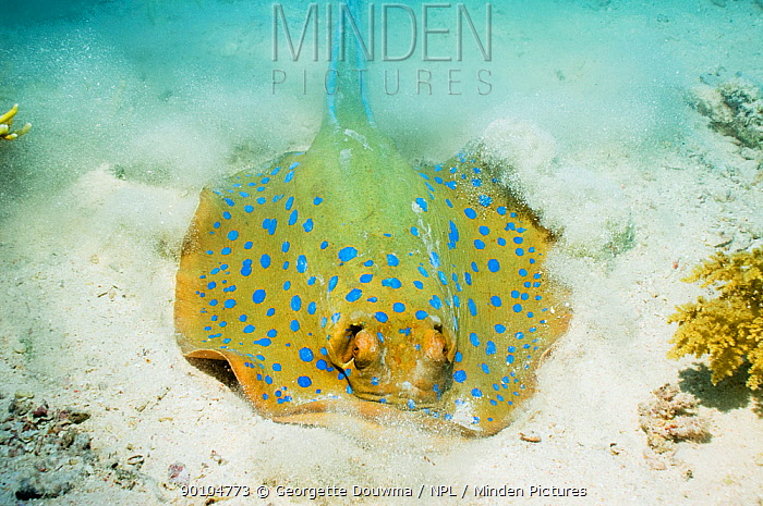 Bluespotted ribbontail ray (Taeniura lymma) digging in the sand for prey Egypt, Red Sea  -  Georgette Douwma/ npl