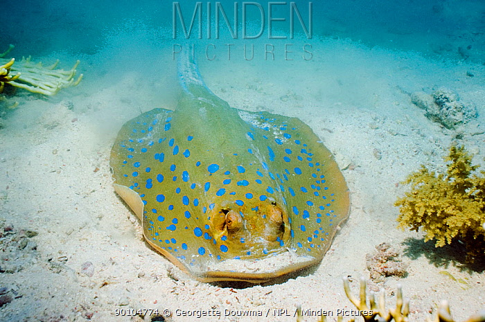 Bluespotted ribbontail ray (Taeniura lymma) has created a dust cloud after digging in the sand for food Egypt, Red Sea  -  Georgette Douwma/ npl