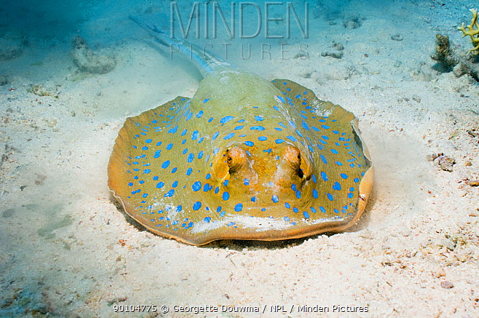 Bluespotted ribbontail ray (Taeniura lymma) digging in the sand for food Egypt, Red Sea  -  Georgette Douwma/ npl