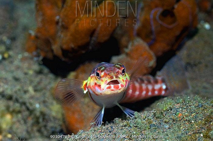 Sandperch (Parapercis sp) Bali, Indonesia  -  Georgette Douwma/ npl