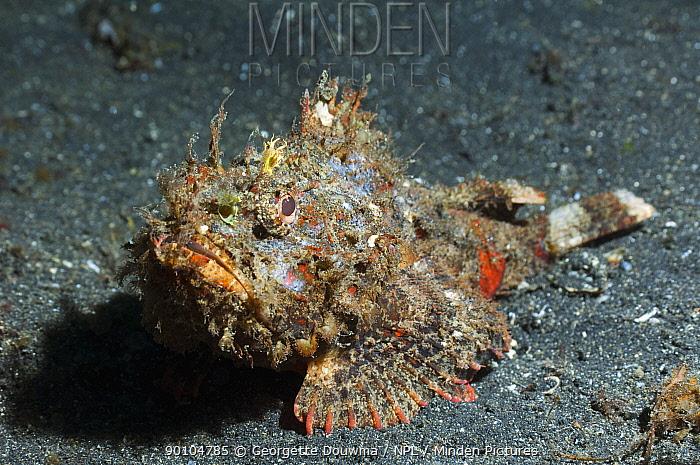 Scorpionfish (Scorpaenopsis sp) camouflaged on seabed, Sulawesi, Indonesia  -  Georgette Douwma/ npl