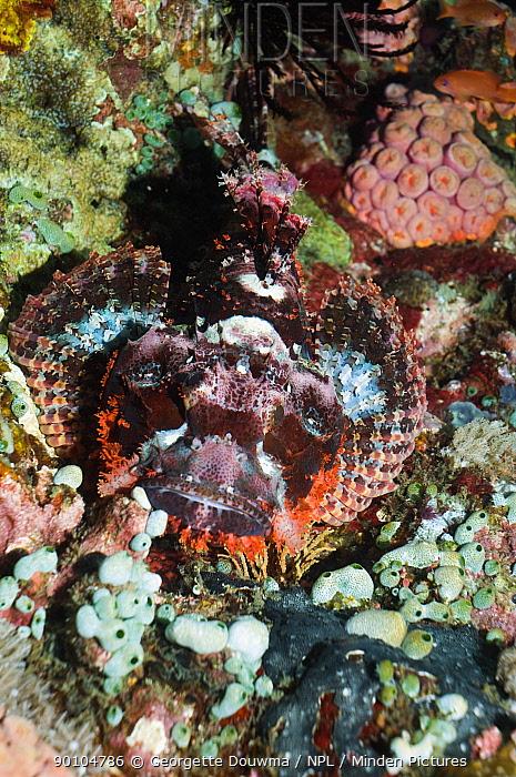 Tassled scorpionfish (Scorpaenopsis oxycephala) on coral reef Philippines  -  Georgette Douwma/ npl
