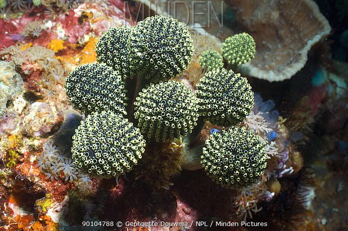 Stalked green ascidian (Oxycorynia facicularis) Rinca, Indonesia  -  Georgette Douwma/ npl