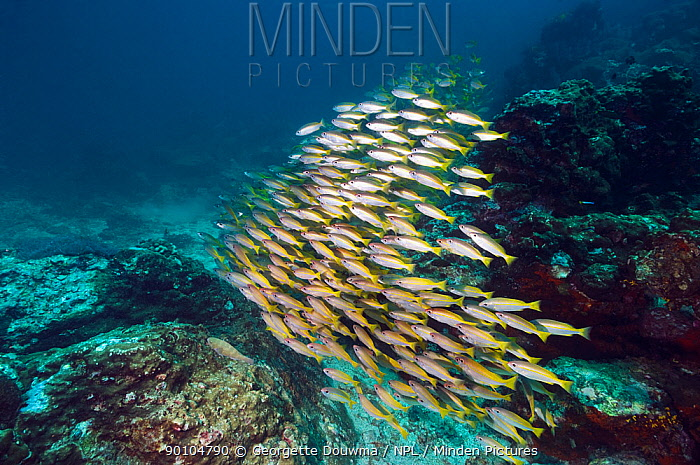 Shoal of Bigeye snappers (Lutjanus lutjanus) Andaman Sea, Thailand  -  Georgette Douwma/ npl