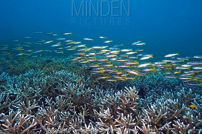 Two-spot snapper (Lutjanus biguttatus) school over vast beds of Staghorn coral Andaman Sea, Thailand  -  Georgette Douwma/ npl