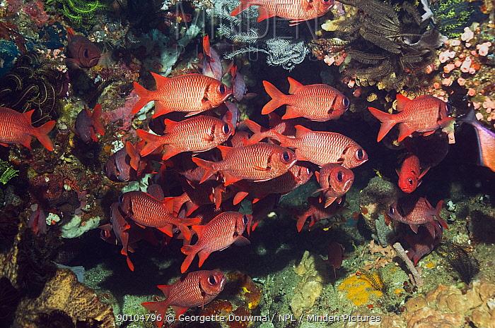 Shoal of Bigscale soldierfish (Myripristis berndti) Rinca, Indonesia  -  Georgette Douwma/ npl