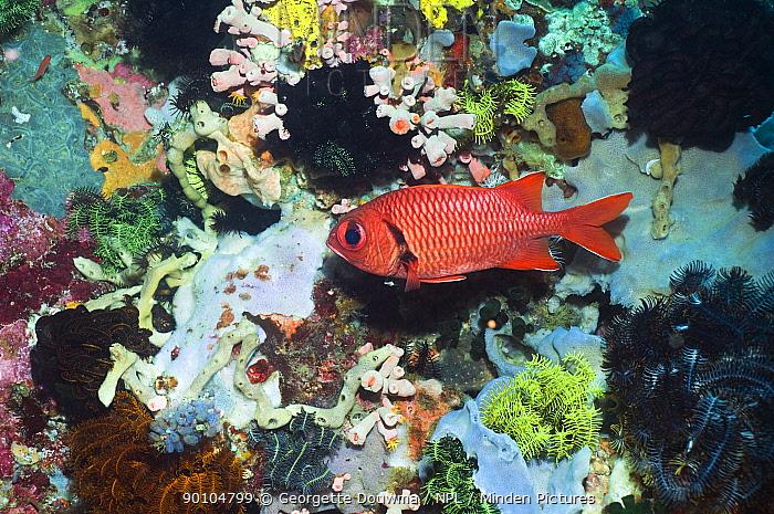 Bigscale soldierfish (Myripristis berndti) Rinca, Indonesia  -  Georgette Douwma/ npl