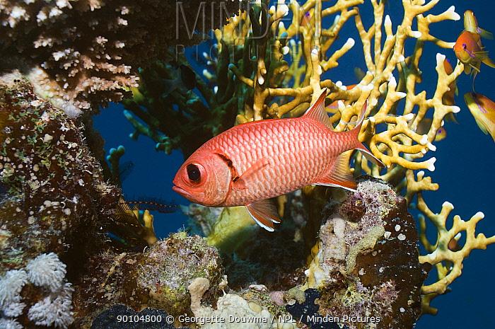 Red soldierfish (Myripristis murdjan) Egypt, Red Sea  -  Georgette Douwma/ npl