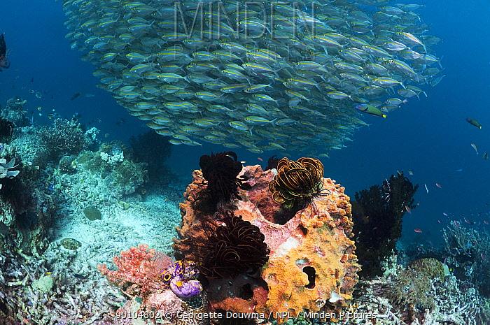 School of Bigeye scad (Selar crunenophthalmus) above Barrel sponge with featherstars, Misool, Raja Empat, West Papua, Indonesia  -  Georgette Douwma/ npl