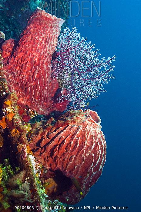 Barrel sponges (Xestospongia testudinaria) growing on shipwreck of 'The Liberty', Bali, Indonesia  -  Georgette Douwma/ npl