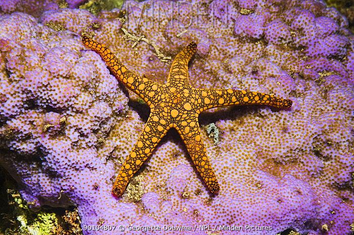 Starfish (Fromia sp) Solomon Islands, Western Pacific  -  Georgette Douwma/ npl