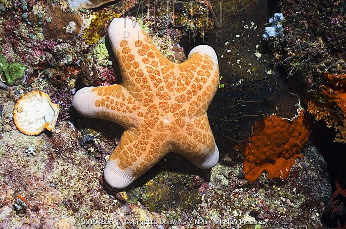 Granulated starfish (Choriaster granulatus) on coral reef, Misool, Raja Ampat, West Papua, Indonesia  -  Georgette Douwma/ npl