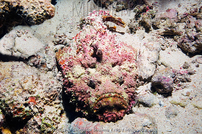 Stonefish (Synanceja verrucosa) camouflaged on coral reef, Egypt, Red Sea  -  Georgette Douwma/ npl