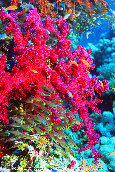 Pygmy sweepers (Parapriacanthus ransonneti) with soft coral (Dendronephthya sp) Andaman Sea, Thailand  -  Georgette Douwma/ npl