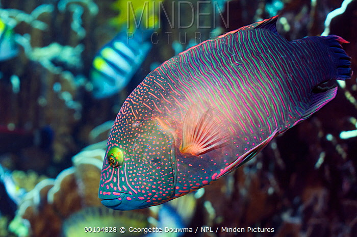 Tripletail wrasse (Cheilinus trilobatus) Andaman Sea, Thailand  -  Georgette Douwma/ npl