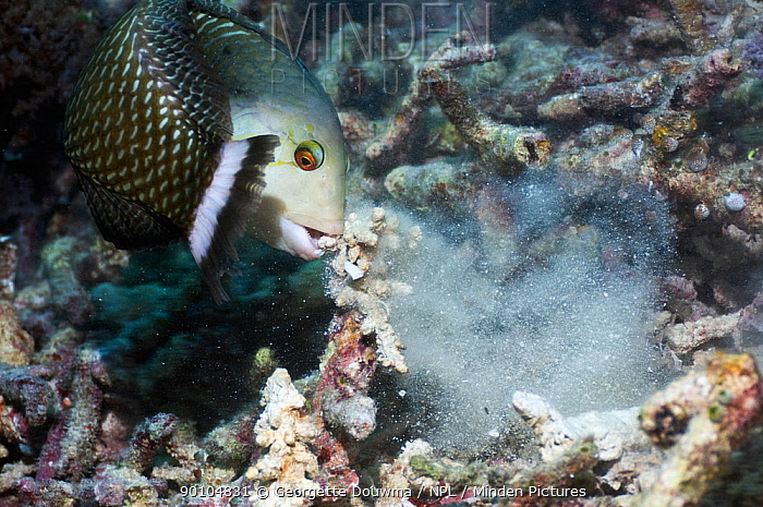 Rockmover, Dragon wrasse (Novaculichthys taeniourus) moving coral rubble to find benthic invertebrates to feed on Misool, Raja Ampat, West Papua, Indonesia  -  Georgette Douwma/ npl