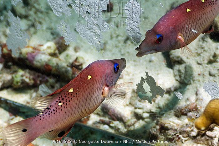 Diana's hogfish (Bodianus diana) attacking its reflection in a mirror Misool, Raja Ampat, West Papua, Indonesia  -  Georgette Douwma/ npl