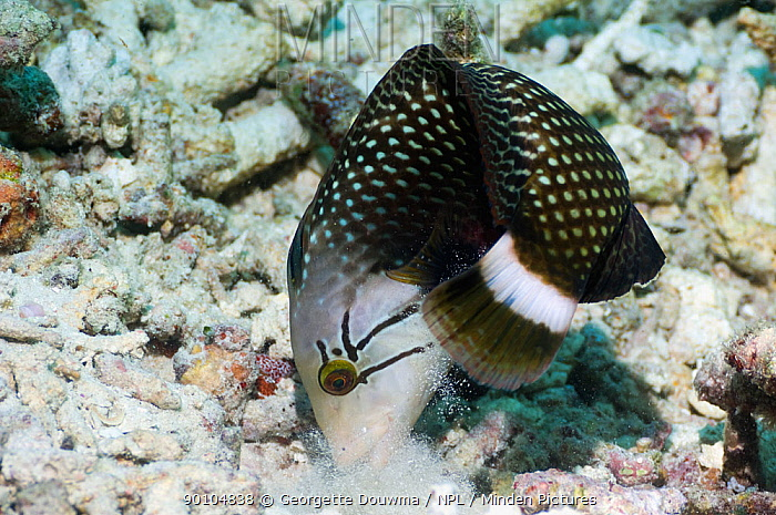 Rockmover or Dragon wrasse (Novaculichthys taeniourus) moving coral rubble to find benthic invertebrates to feed on Misool, Raja Ampat, West Papua, Indonesia  -  Georgette Douwma/ npl