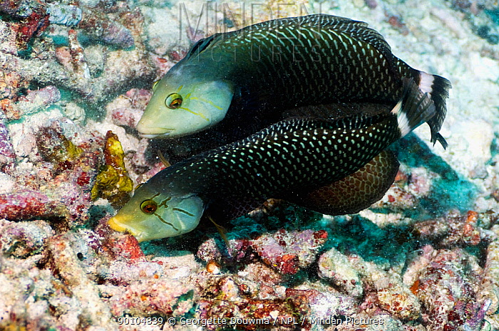 Rockmover or Dragon wrasse (Novaculichthys taeniourus) often working in pairs, moving coral rubble to find benthic invertebrates to feed on Misool, Raja Ampat, West Papua, Indonesia  -  Georgette Douwma/ npl