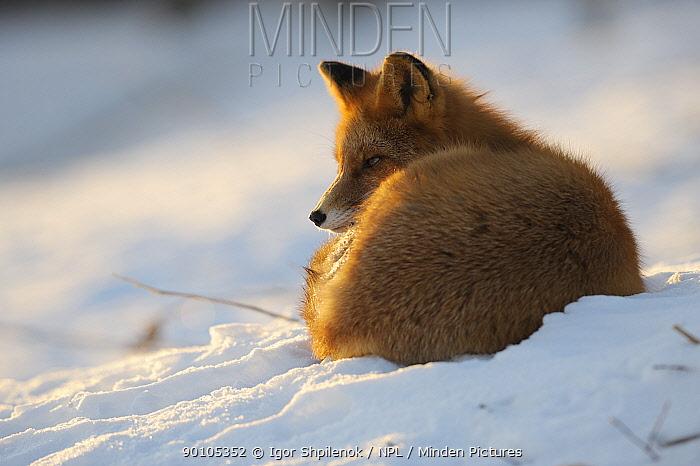 Red fox (Vulpes vulpes) curled up in the snow, Kronotsky Zapovednik, Kamchatka, Russia  -  Igor Shpilenok/ npl